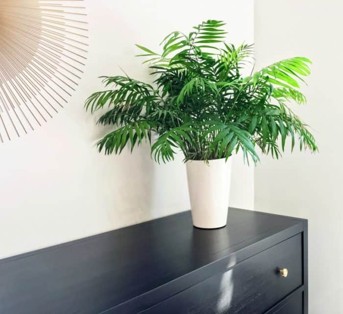 palm plant on a black dressor