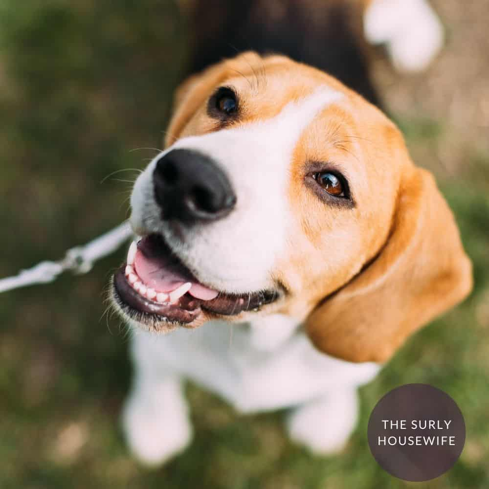 adorable beagle looking at the camera. Title image for blog post: Shiloh Unit Study Guide