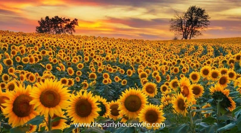 Blooming sunflower field. Title image of blog post: 20 children's books about Kansas