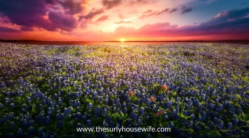 Texas bluebonnet field